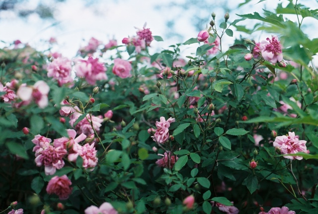 a bush of pink roses