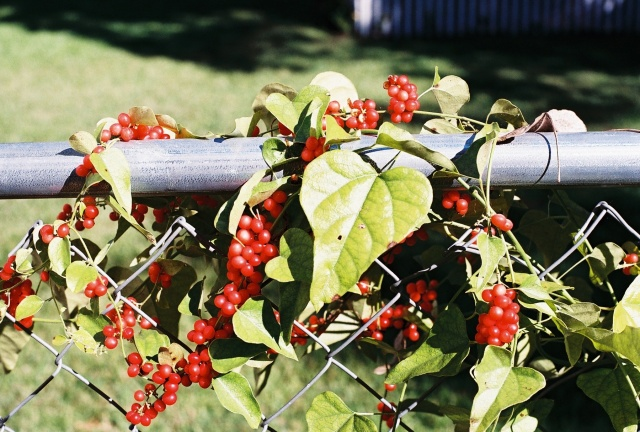 a vine with red berries on the chain link fence