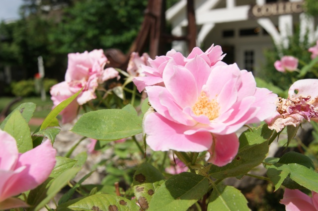 pink roses blooming in missouri