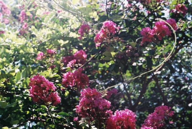 pink_crepe myrtles